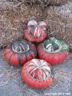 10 AMERICAN TURKS TURBAN SQUASH GOURD Cucurbita Maxima Vine Seeds : Gourd Plants : Patio, Lawn & Garden