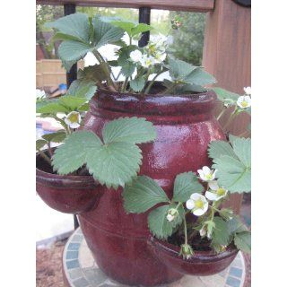 25 Evie Everbearing Strawberry Plants   BEST BERRY   Bare Root Plants  Patio, Lawn & Garden