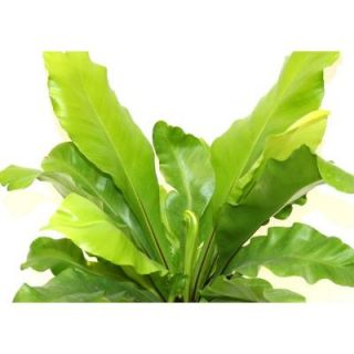 Delray Plants Bird's Nest Fern in 6 in. Pot 90694