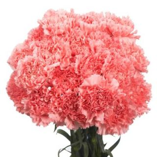 Globalrose Fresh Pink Carnations (200 Stems) pink carnations 200